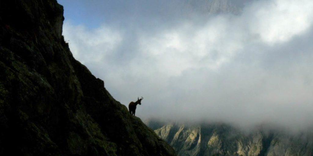 un chamois sauvage sur le flan d'une montagne dans un parc naturel des Hautes-Alpes