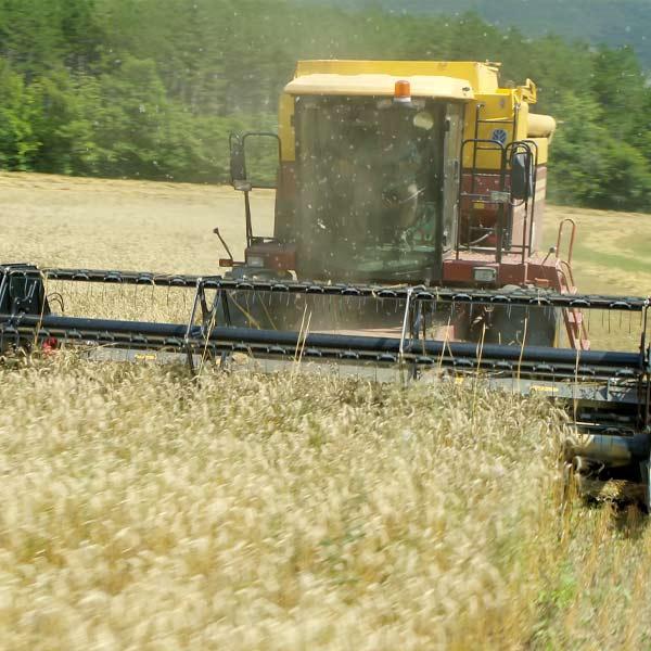 une moissonneuse batteuse récolte le blé dans les champs